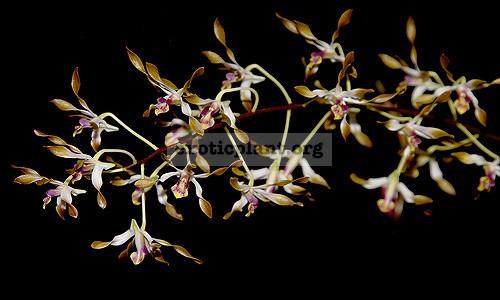 213 Dendrobium carronii BS 55