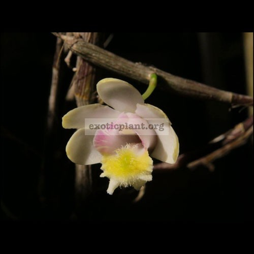 214 Dendrobium chittimae BS 20