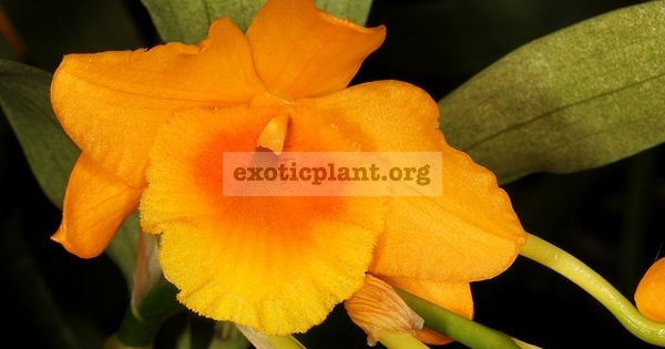 216 Dendrobium chryseum BS 30