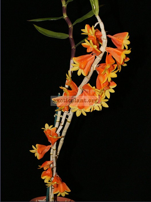 219 Dendrobium chrysopterum BS 40