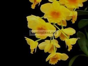 219 Dendrobium chrysotoxum BS 20