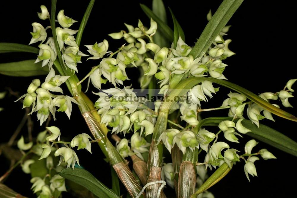 220 Dendrobium compactum BS 12-40