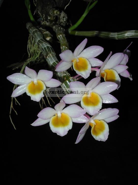 221 Dendrobium crepidatum Fragrant BS 12-40