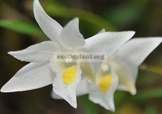 227 Dendrobium cuspidatum (JQ-231) BS 12-40