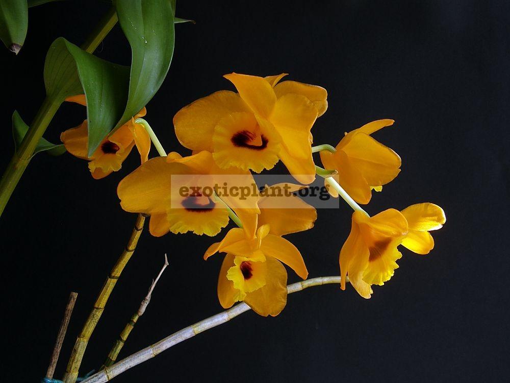 229 Dendrobium denneanum NS 20