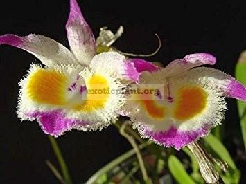 232 Dendrobium devonianum BS 20