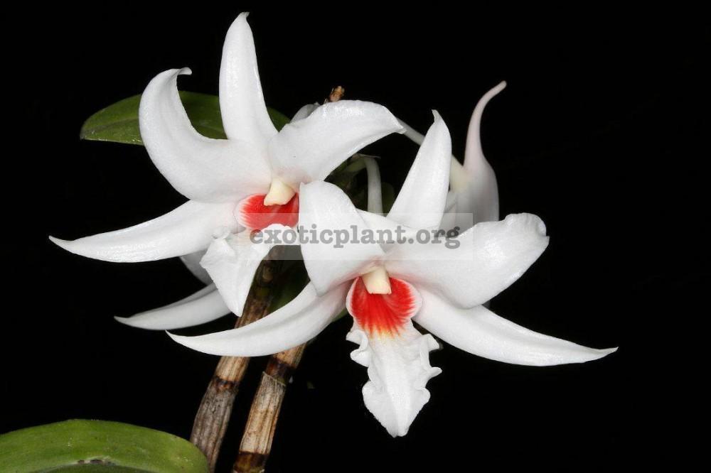 237 Dendrobium draconis BS 12-40