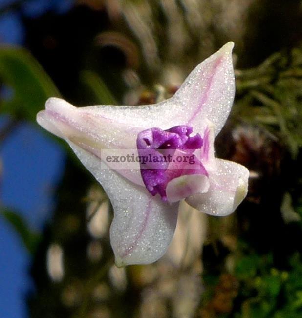 238 Dendrobium elliottianum BS 20