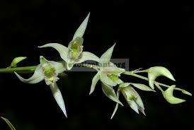 239 Dendrobium eriiflorum BS 12-40
