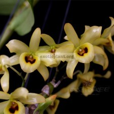 245 Dendrobium friedericksianum BS 12-40