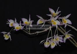 247 Dendrobium gratiosissimum BS 12-40