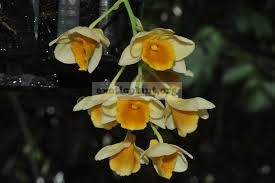 249 Dendrobium griffithianum BS 12-40