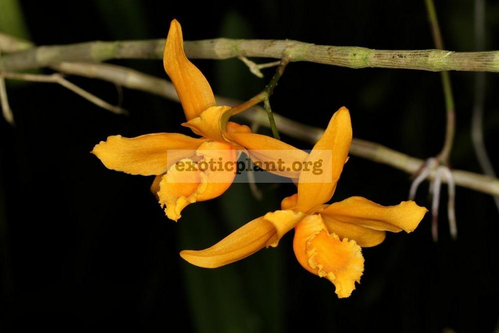 252 Dendrobium henryi BS 20-45