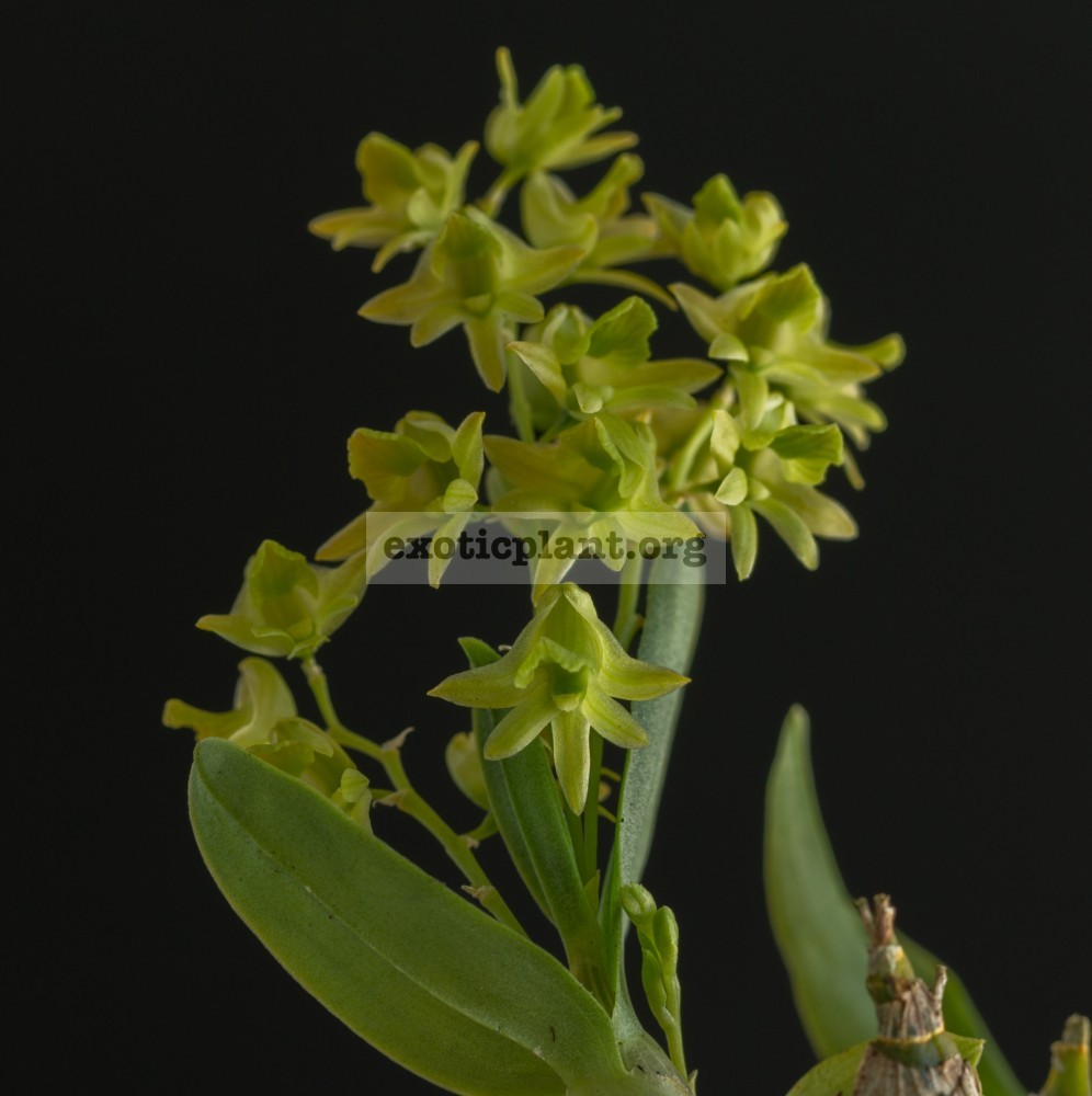 259 Dendrobium kanburiense JQ601 Fragrant BS 20