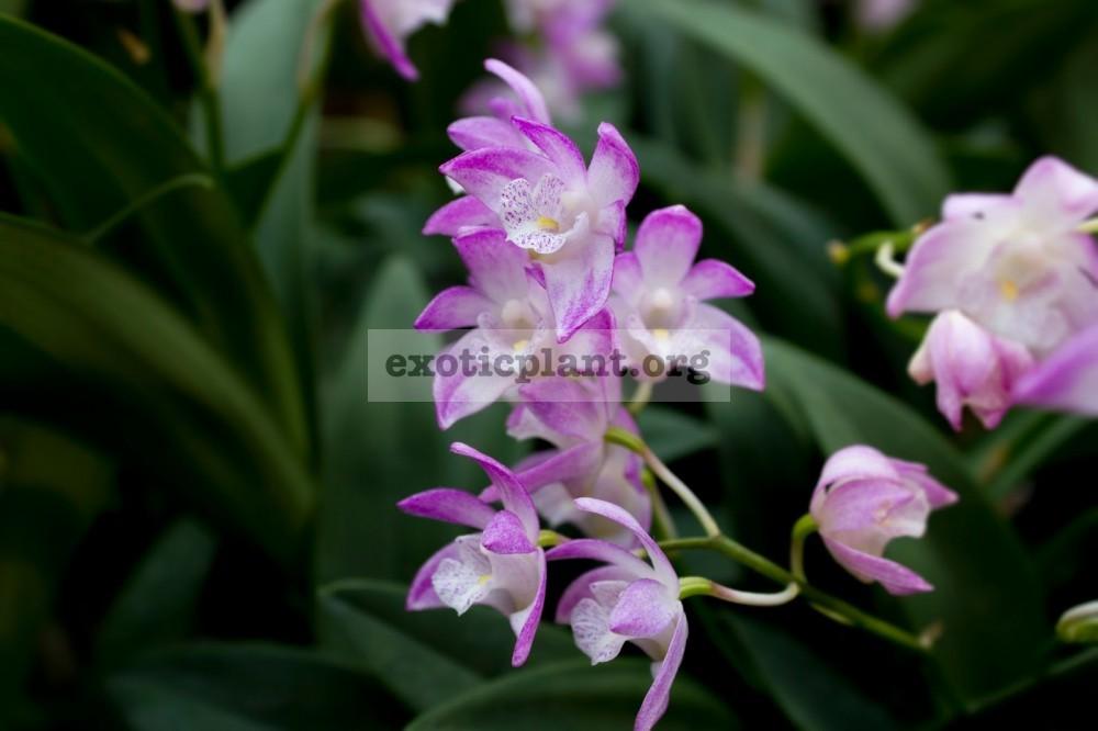 262 Dendrobium kingianum BS 55