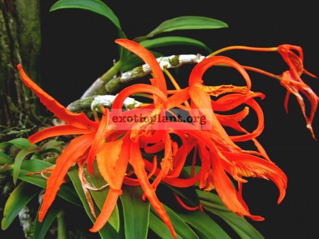 264 Dendrobium lamyaiae(JQ-424) Fragrant BS 12-40