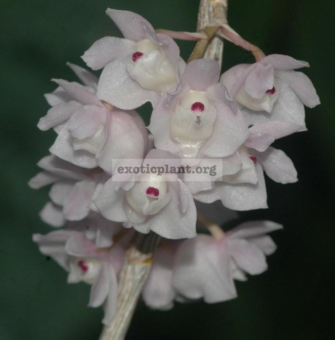 267 Dendrobium linguella BS 20