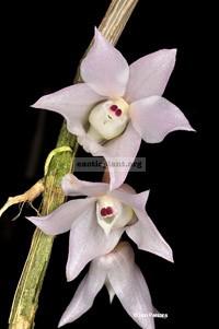 255 Dendrobium linguella BS 20
