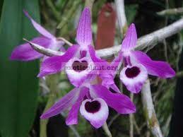 268 Dendrobium lituiflorum BS 20