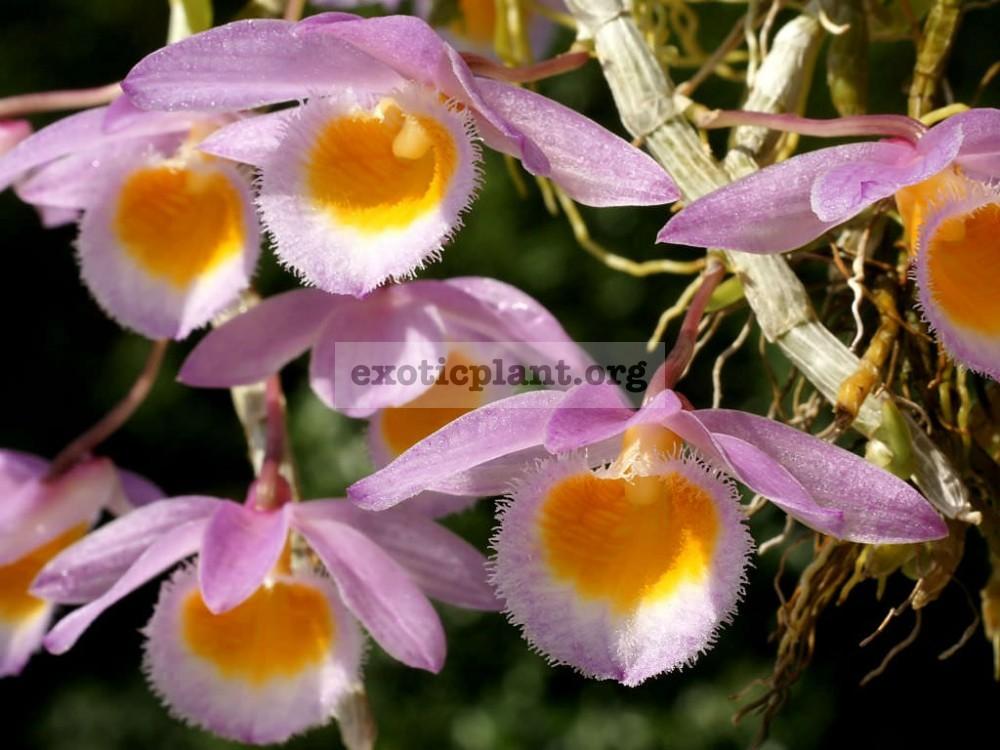 269 Dendrobium loddigesii BS 20