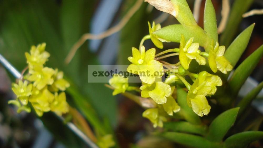 270 Dendrobium mannii BS 12-40