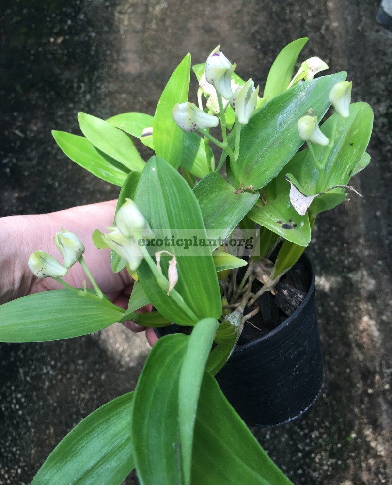 274.1 Dendrobium normanbyense