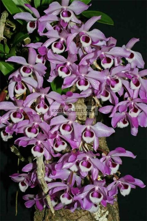 277 Dendrobium parishii BS 12-40