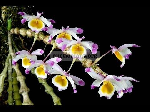 279 Dendrobium pendulum BS 20