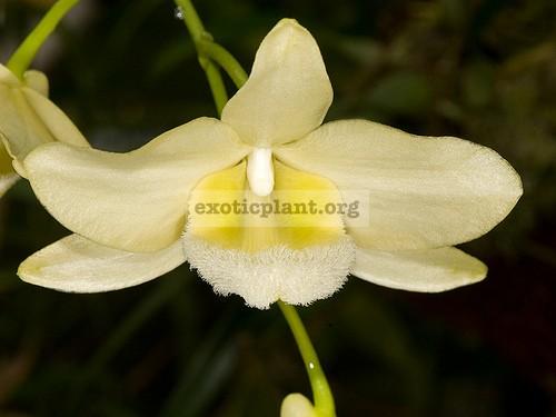 283 Dendrobium pulchellum  alba  NB 90