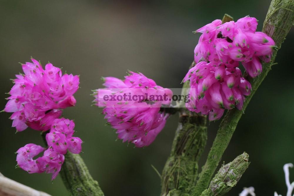 284 Dendrobium purpureum BS 55
