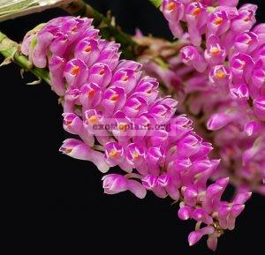 288 Dendrobium secundum/bursigerum(syn.) BS 40