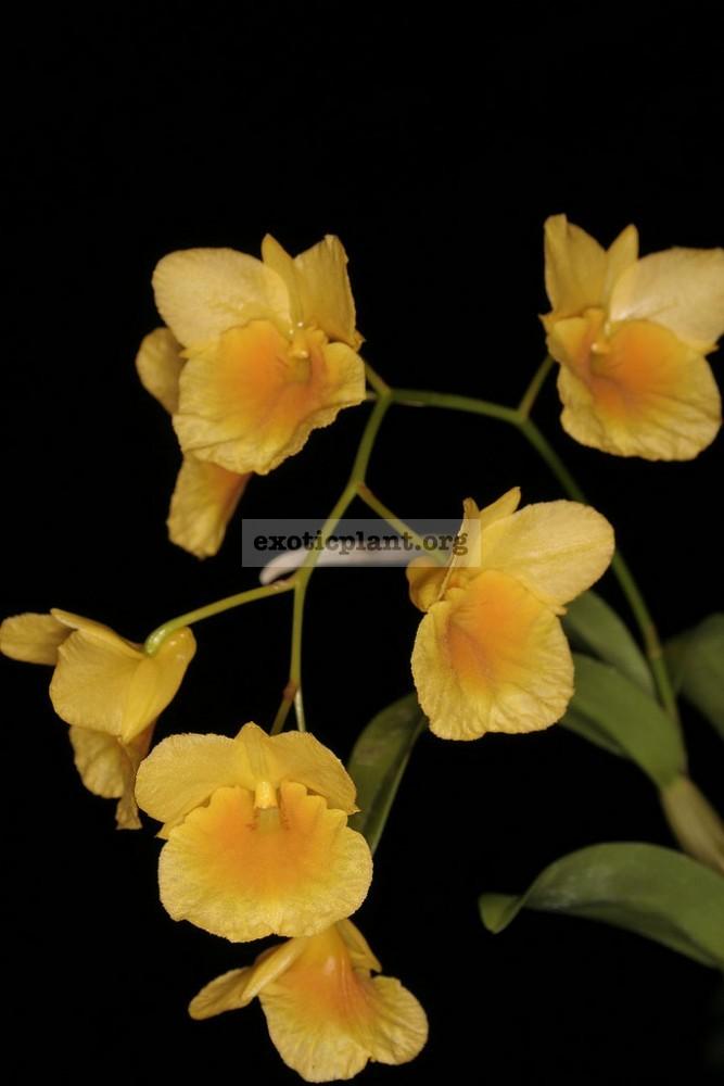 294 Dendrobium sukhakulii BS 20