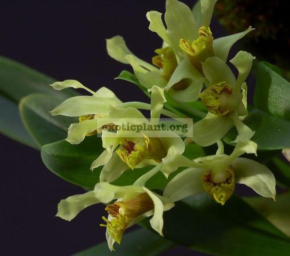 303 Dendrobium venustum BS 12-40