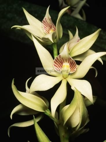 320 Encyclia fragrans Fragrant BS 40