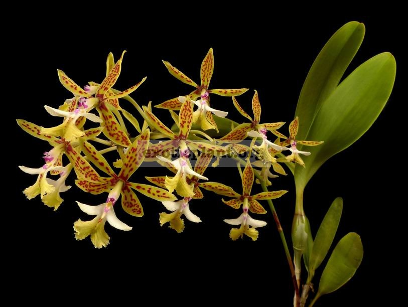 325 Epidendrum stamfordianum BS 20