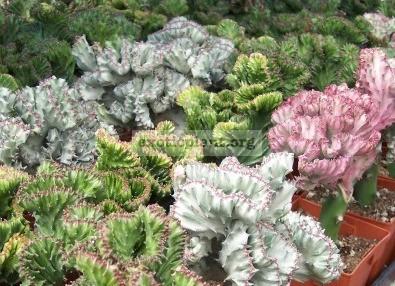 Euphorbia lactea  Cristata Rubra