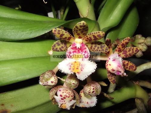 333 Gastrochilus bellinus NB 20