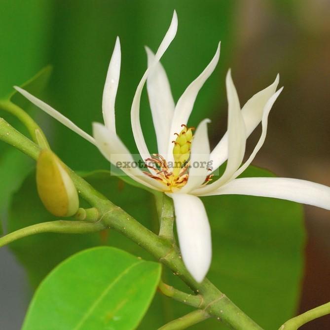 Michelia alba 20