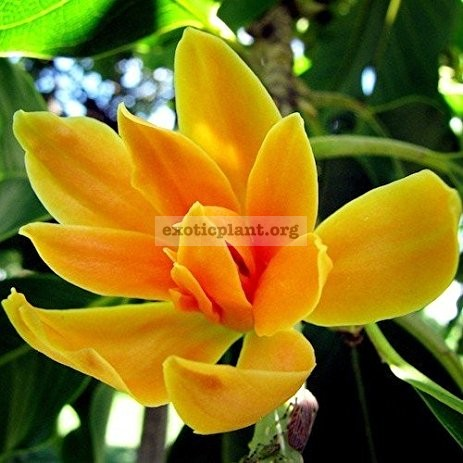 Michelia champaca 16