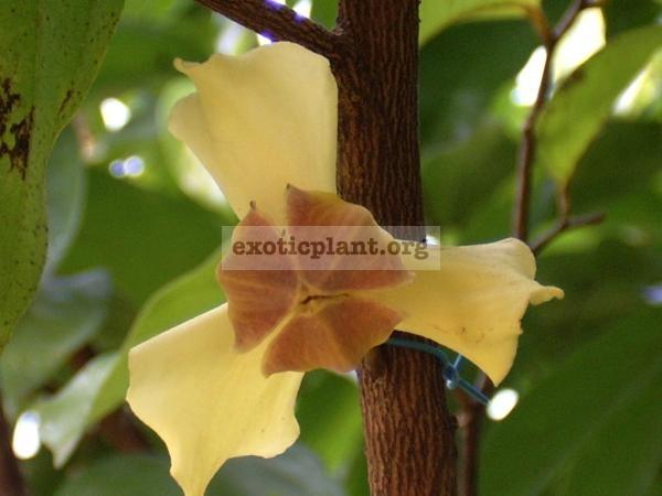 Mitrephora wangii 30