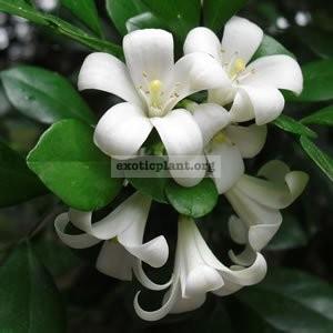 Murraya paniculata 12