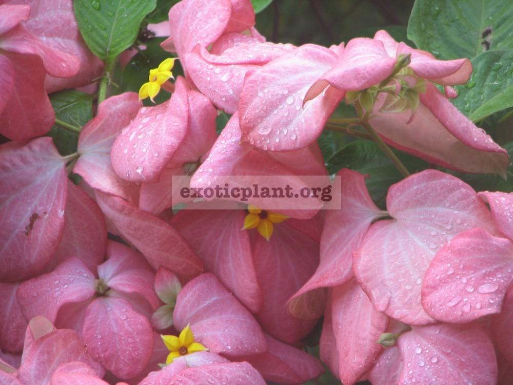 Mussaenda philippica 'Bangkok Rose' 30