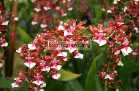 403 Oncidium Charlee Baby (bloody red ) Fragrant BS 12-40