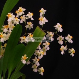 404 Oncidium Twinkle Fragrance Fantasy Fragrant BS 12-40