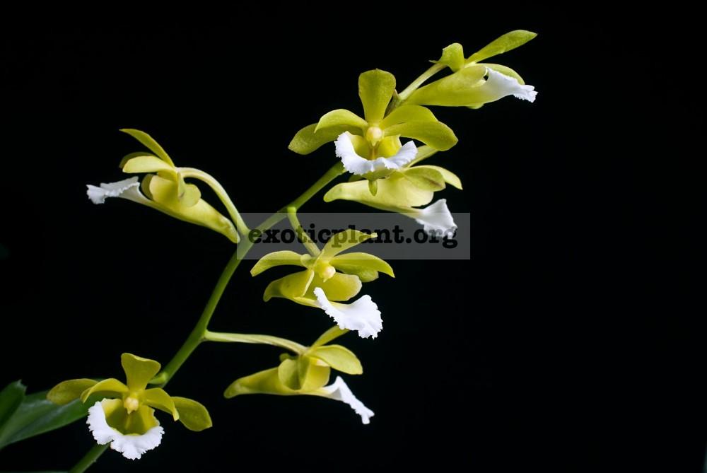161 Christensonia(syn.)/Vanda vietnamica (PW-02) Fragrant BS 20-60