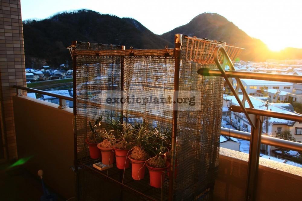 Зимнее содержание неофинетий в Японии