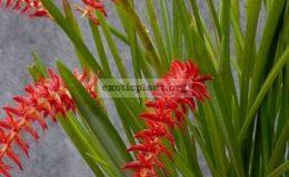 305 Dendrobium wenzelii