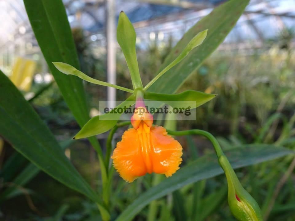324.1 Epidendrum pseudoepidendrum