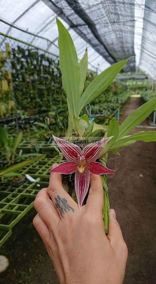 411.1 Paphinia neudeckeri BS