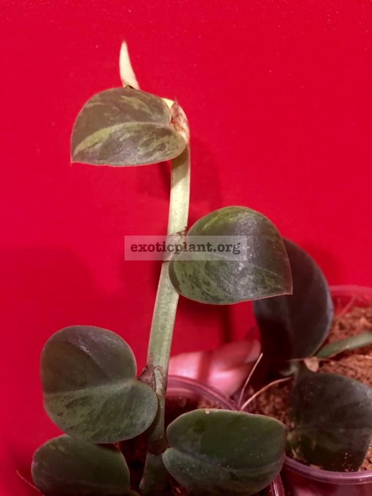Rhaphidophora sp variegated 55